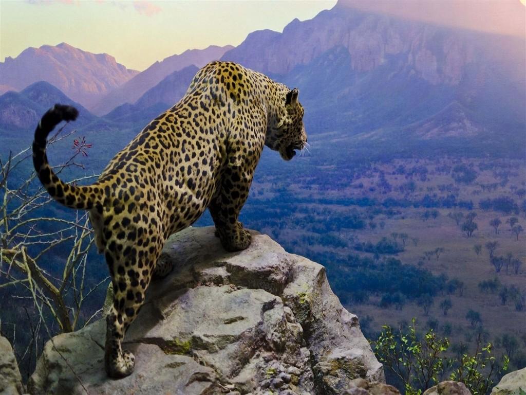 jaguar animal hd wallpaper download